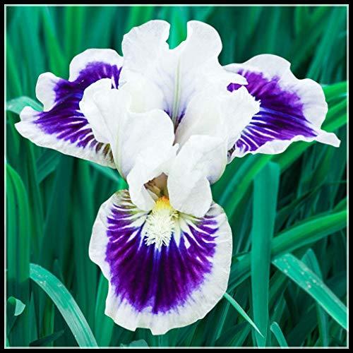 Los Bulbos De Iris Son De Color Brillante, Peculiar En Forma De Flor Y Fuerte Fragancia,Son Aptos Para Jardinería Y Plantas En Macetas,Una Hermosa Planta Rara Con Rizomas.-3 Bulbos,2