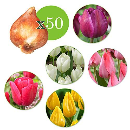 50 Stück Blumenzwiebeln Tulpe Tulp tulpen Direkt von holländischem Boden