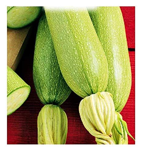 Semillas de calabacín blanco de trieste - verduras - cucurbita