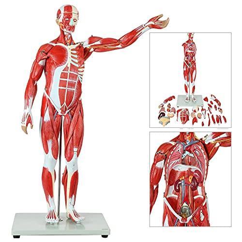 XGYUII Modelo de anatomía muscular humana