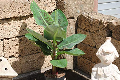 Bananenpflanze,attraktive Kübelpflanze,ca 60cm hoch