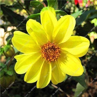 Double Dahlia Seed Mini Mary Fleurs Graines Bonsai Plante en pot bricolage jardin odorant fleur, croissance naturelle de haute qualité 50 Pcs 5