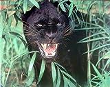 Wall Decor Wild Black Panther Scary (Leopard, Jaguar) Animal Picture Art Print (8x10)
