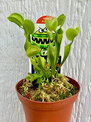 """Live Venus Flytrap Carnivorous Plant - 3"""" Potted"""