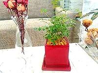 送料無料 シマトネリコ 観葉植物 鉢植え 陶器 バットの木 風水 インテリア 北欧 おしゃれ ギフト お祝い ヴィヴィッドレッドポット