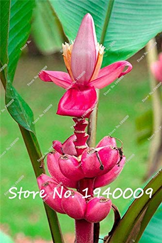 graines Banana fruits de SVI frais pour la plantation Rose