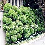bonsai 50 pc giapponese ginepro bonsai starter albero juniperus procumbens nana pianta in vaso per la casa e il giardino facile da coltivare: 11