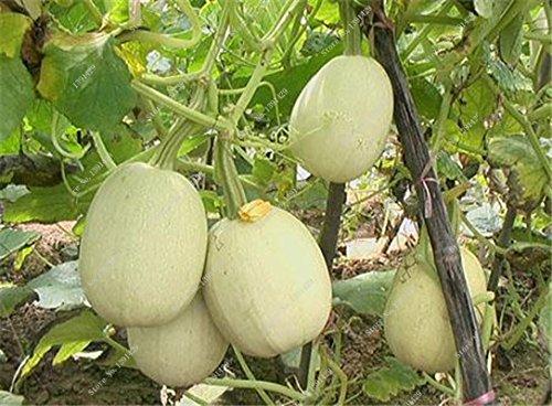 Graines de citrouille rares Cucurbita fil d'or de citrouille non-OGM légumes jardin Bonsai plantes ornementales semences Escalade 10 Pcs/sac 17