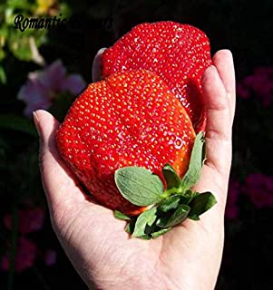 Benincasa Hispida Winter Melon C083 Livraison gratuite 3 Packs de 30 graines Big Wax Gourd Seeds