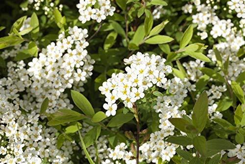 Weiße Rispenspiere Spiraea cinerea 'Grefsheim' im Topf gewachsen ca. 60cm