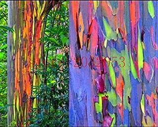 200 semillas del árbol de eucalipto del arco iris deglupta SEMILLAS DEL ARCO IRIS árbol de eucalipto para la plantación de...