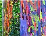 200 graines d'arbres arc-en-Eucalyptus deglupta GRAINES RAINBOW Eucalyptus maison jardin plantation