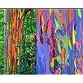200 semillas del árbol de eucalipto del arco iris…