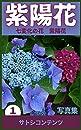 紫陽花 1: 七変化の花 紫陽花