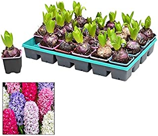 Bandeja de 24 Bulbos de Jacinto de Colores Surtidos Plantas Naturales Hyacinthus Jacinto de Diferente Color