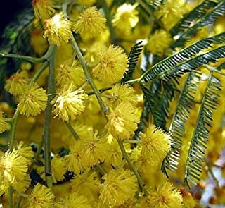 Nianyan Silver Wattle Mimosa Tree 60 Seeds - Acacia Dealbata