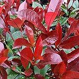 ¡Barato! semillas de semillas forestales Photinia Red Robin hojas de los árboles cubren el brezo localizaciones reales 50 semillas/Pack - Nueva Arcis