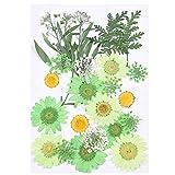 Flores Secas Prensadas, MXJFYY 23 piezas de Flores Prensadas Naturales Hojas Coloridas Flores Secas para Manualidades de Bricolaje Velas de Resina Arte Decoraciones Florales (Verde)