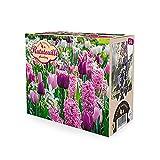 24x Blumenzwiebeln - RATATOUILLE Mix   Frühjahrsblüher Zwiebeln   Tulpen, Hyazinthen und Narzissen   Rosa-lila Blüten   Mehrjährige blühende Pflanzen