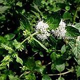 500 piezas de hierba verde de semillas de menta plantadas durante todo el año con pequeñas flores blancas Cultivo simple adecuado para nuevos jardineros como decoración de jardín