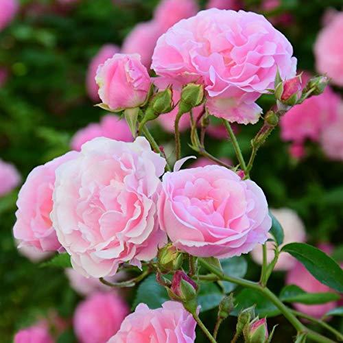 tomgarten Ramblerrose 'Paul Noel' | mehrjährig | rosa | winterhart | 1 Rose