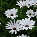 Outsidepride African Daisy - White