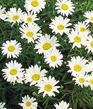 HOT!! - 1000 Dwarf Shasta Daisy Chrysanthemum Flower Seed