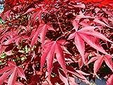 Acero Rosso Giapponese'Acer Palmatum Atropurpureum' vaso ø16 cm h. 40/60 cm