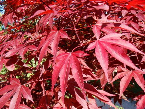 Acero Rosso Giapponese'Acer Palmatum Atropurpureum' in vaso ø13 cm