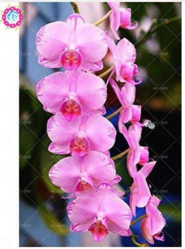 100pcs 20 couleurs d'orchidées rares Cymbidium, graines de Cymbidiums africaines, graines de fleurs bonsaï Phalaenopsis, plante pour le jardin de la maison en pot 12