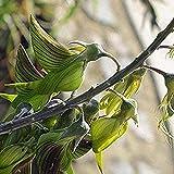 50 Stück Grüne Crotalaria Samen Grüne Vogelblume Vogelblume Crotalaria Cunninghamii