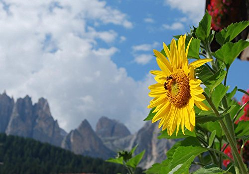 LAMINATED 34x24 Poster: Sunflower Alps Dolomites Sky Clouds Mountains