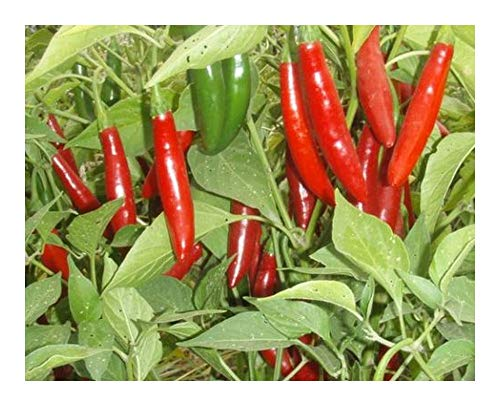 Chili Serrano - piment - 10 graines