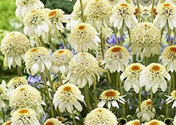 100 Fuchsia Seeds, Bonsai Hanging Flowers F.Alba Coccinnea DIY Planting Flowers Clear
