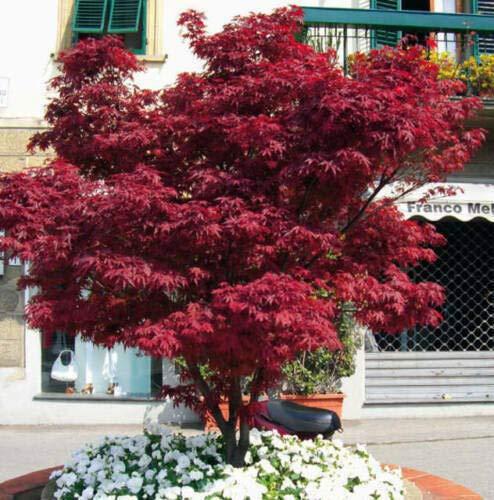 Acero rosso giapponese innestato'Acer palmatum Fire Glow' in vaso da 0,5 litri
