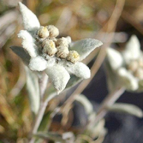 Edelweiss des Alpes 400 graines