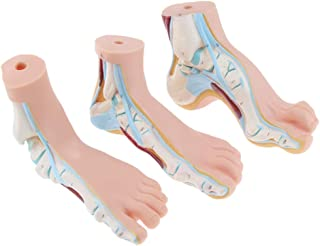 MagiDeal 1:1 Human Foot Model Normal, Flat, Arched Foot Model Anatomy Students Learning Instrument