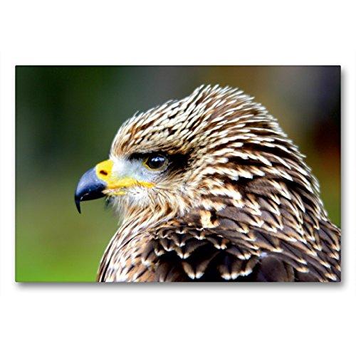 CALVENDO Premium Textil-Leinwand 90 x 60 cm Quer-Format Greifvögel - Junger Rotmilan, Leinwanddruck von Arno Klatt