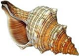 Kaltner Präsente Geschenkidee - 15 bis 16 cm groß Muschel Fasciolaria Trapezium Trapez Bandschnecke Meeresschnecke