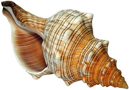 Kaltner Präsente Geschenkidee - 14 cm groß Muschel Fasciolaria Trapezium Trapez Bandschnecke Meeresschnecke
