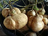Portal Cool Best Yam Bean 25 semi, Jicama, patate messicane,...