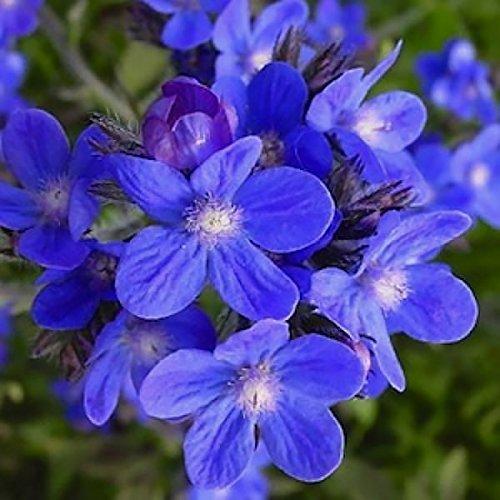 mehrjährig: Italienische Ochsenzunge 50+ Samen?Bright Blau Blooms * Ochsenzungen * Einfach zu wachsen, blaue Blume, Hohe Keimung, frische Samen,
