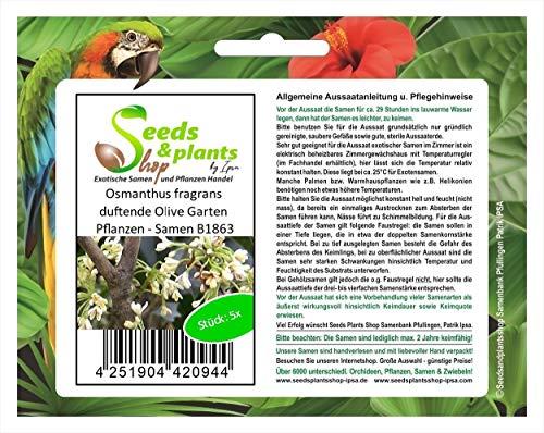 Stk - 5x Osmanthus fragrans duftende Olive Garten Pflanzen - Samen B1863 - Seeds Plants Shop Samenbank Pfullingen Patrik Ipsa