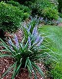 Super Blue Liriope - 10 Live Plants - Drought Tolerant Ground Cover Grass