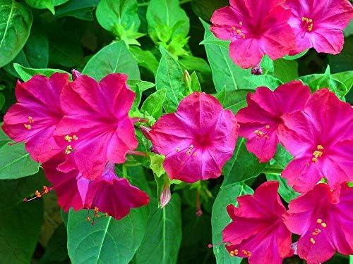Four o'clock Spring new work one after another Mirabilis Jalapa 50 Garden Cheap SALE Start Butterflies maravilla