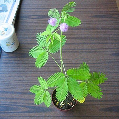 Ncient 5/ 10/ 20 pcs/ Sac Graines Semences de Mimosa Pudica Sensitive Graines Fleurs Graines à Planter Plante Rare de Jardin Balcon Bonsaï en Plein Air pour l'Intérieur et l'Extérieur (20pcs)