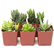 Shop Succulents | Haworthia Collection | Assortment of Hand Selected, Fully Rooted Alluring Miniature Aloe Live Indoor Succulent Plants, 5-Pack