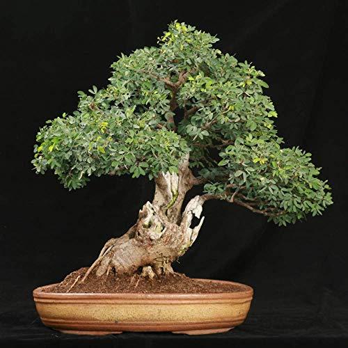 Tamarindus indica Tamarind Tree Samen Orchidee wie Blüten Container Bonsai Garten (10 Samen)