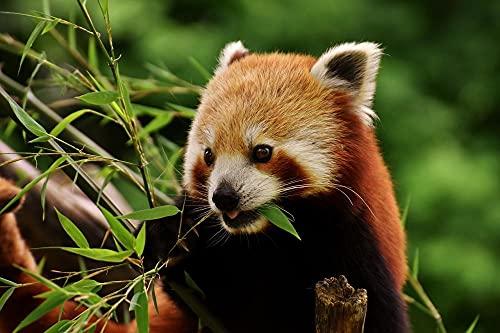 Adultos Rompecabezas Panda Oso Panda Rojo Gato Ailurus Predator Madera Rompecabezas Decoración para El Hogar-500 Piezas
