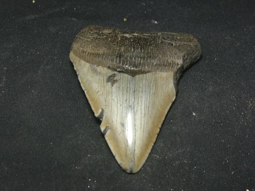 Huge 4.1' Megalodon Shark Fossil Tooth South Carolina